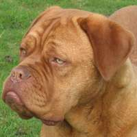 dogue de bordeaux : Furie