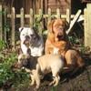 photo chien et chiot dogue de bordeaux : 2007janvier02