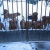 photo chien et chiot dogue de bordeaux : 20101217_dogues_neige_01