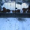 photo chien et chiot dogue de bordeaux : 20101217_dogues_neige_03