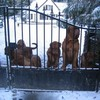 photo chien et chiot dogue de bordeaux : 20101217_dogues_neige_04