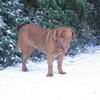 photo chien et chiot dogue de bordeaux : 20101217_dogues_neige_05