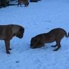 photo chien et chiot dogue de bordeaux : 20101217_dogues_neige_06