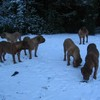 photo chien et chiot dogue de bordeaux : 20101217_dogues_neige_07