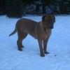 photo chien et chiot dogue de bordeaux : 20101217_dogues_neige_09