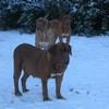 photo chien et chiot dogue de bordeaux : 20101217_dogues_neige_10