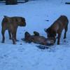 photo chien et chiot dogue de bordeaux : 20101217_dogues_neige_11