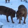 photo chien et chiot dogue de bordeaux : 20101217_dogues_neige_12