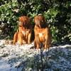 photo chien et chiot dogue de bordeaux : 20101217_dogues_neige_13