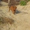 photo chien et chiot dogue de bordeaux : 2010_ete_balade_mer_07