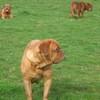photo chien et chiot dogue de bordeaux : 20110311_nos_dogues_01