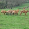 photo chien et chiot dogue de bordeaux : 20110311_nos_dogues_02