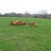 photo chien et chiot dogue de bordeaux : 20110311_nos_dogues_04