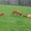 photo chien et chiot dogue de bordeaux : 20110311_nos_dogues_05