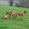 photo chien et chiot dogue de bordeaux : 20110311_nos_dogues_06