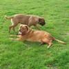 photo chien et chiot dogue de bordeaux : 20110311_nos_dogues_08