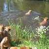 photo chien et chiot dogue de bordeaux : 20110521_nos_dogues_02