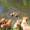 photo chien et chiot dogue de bordeaux : 20110521_nos_dogues_03