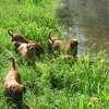 photo chien et chiot dogue de bordeaux : 20110521_nos_dogues_04