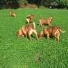 photo chien et chiot dogue de bordeaux : 2011_octobre_ete_001