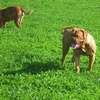 photo chien et chiot dogue de bordeaux : 2011_octobre_ete_002