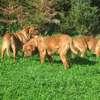 photo chien et chiot dogue de bordeaux : 2011_octobre_ete_003