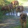 photo chien et chiot dogue de bordeaux : 2011_octobre_ete_008