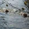 photo chien et chiot dogue de bordeaux : 2011_octobre_ete_012