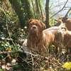 photo chien et chiot dogue de bordeaux : 2011_octobre_ete_013