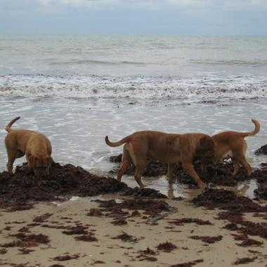 photo chien et chiot dogue de bordeaux : 20121208_chiens_mer_01