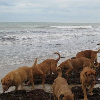 photo chien et chiot dogue de bordeaux : 20121208_chiens_mer_02