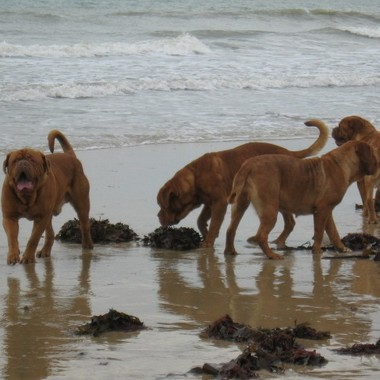 photo chien et chiot dogue de bordeaux : 20121208_chiens_mer_03