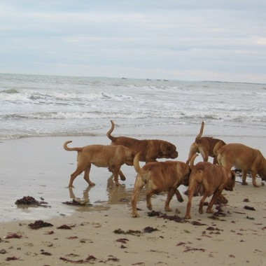 photo chien et chiot dogue de bordeaux : 20121208_chiens_mer_04