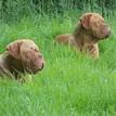 photo chien et chiot dogue de bordeaux : 20130701_chiens_enfants_02