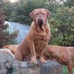 photo chien et chiot dogue de bordeaux : 20131112_01