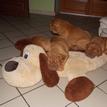 photo chien et chiot dogue de bordeaux : 20131112_02