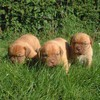 photo chien et chiot dogue de bordeaux : 3chiots