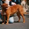 photo chien et chiot dogue de bordeaux : TMPtitaneexpo