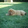 photo chien et chiot dogue de bordeaux : Ulysse31