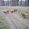 photo chien et chiot dogue de bordeaux : aout200401