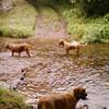 photo chien et chiot dogue de bordeaux : aout200404