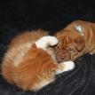 photo chien et chiot dogue de bordeaux : chat_chien