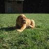 photo chien et chiot dogue de bordeaux : chiotsjuin2