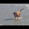 photo chien et chiot dogue de bordeaux : img00811
