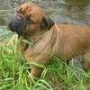 photo chien et chiot dogue de bordeaux : juin09_vacances04