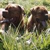 photo chien et chiot dogue de bordeaux : mai0402