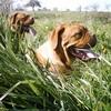 photo chien et chiot dogue de bordeaux : mai0404
