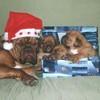 photo chien et chiot dogue de bordeaux : noel1