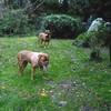 photo chien et chiot dogue de bordeaux : ouviventnosdogues04