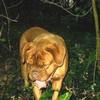 photo chien et chiot dogue de bordeaux : ouviventnosdogues06